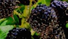 Black Raspberry Wine with Black Jewel Raspberries