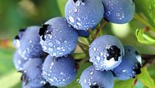 Divine Blueberry Wine Recipe