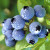 Divine Blueberry Wine Recipe